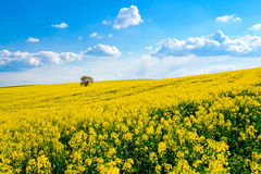 Lonely tree on the blooming colza field Stock Image