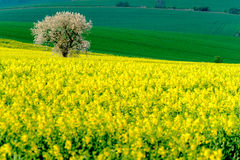 Lonely tree on the blooming colza field Royalty Free Stock Image