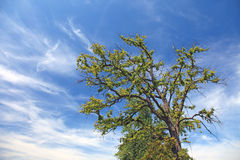 Lonely tree and blue sky. Old lonely tree and dramatic sky with clouds Royalty Free Stock Photos