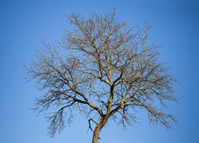 Lonely tree and blue sky Royalty Free Stock Image