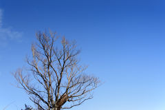 Lonely tree in blue sky Royalty Free Stock Photography
