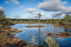 Lonely tree on bog island. Panoramic bog landscape in autumn at cloudy day. royalty free stock images