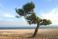 Lonely tree at Bol, island Brac , Croatia Stock Image