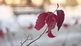 Lonely tree branch with red leaves winter snow nature. Lonely tree branch with red leaves winter snow a nature stock video
