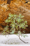 Lonely tree in Cathedral Gorge, Bungle Bungles National Park Royalty Free Stock Photos