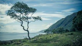 Lonely Tree on Coast. Single Windswept Tree on Scottish Coastline Royalty Free Stock Images
