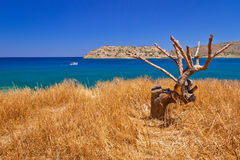 Lonely tree on the coast of Crete. At Spinalonga island, Greece Stock Images