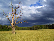 Lonely tree. In a corn field Stock Photos