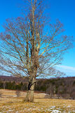 Lonely tree in the countryside skiing fields. The old tree in the field on a sunny winter day Stock Photography