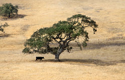 Lonely tree and cow Royalty Free Stock Images