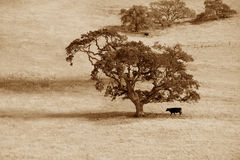 Lonely tree and cow Stock Image