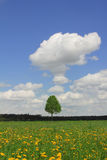 Lonely tree in dandelion meadow Stock Photos
