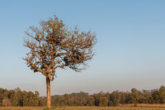 Lonely tree depends on the field in autumn Royalty Free Stock Image