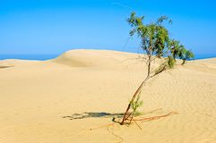 Lonely tree in desert. A lonely tree trying to survive in the sand! Clear sky Stock Images