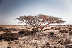 Lonely tree in the desert. Dried tree in the desert Stock Photography