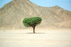 Lonely tree in the desert Stock Photo
