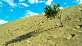 Lonely tree in the desert. Lonely geen tree in the sand desert royalty free stock photography