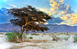 Lonely tree in a desert Royalty Free Stock Image