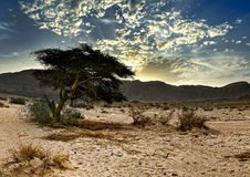 Lonely tree in desert , Israel Stock Images