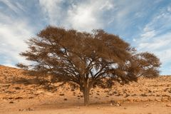 Lonely tree in the desert Royalty Free Stock Photo