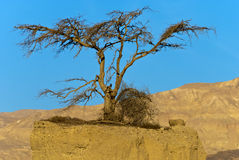 Lonely tree in desert of Negev, Israel Stock Photography