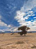 A lonely tree in desert of Negev, Israel Royalty Free Stock Photos