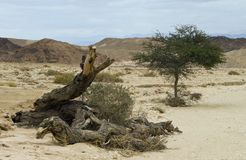 A lonely tree in desert of Negev, Israel Stock Photos