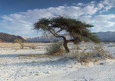 Lonely tree in the desert  of Timna park, Israel Royalty Free Stock Photos
