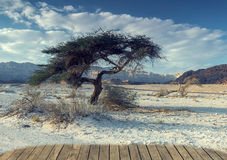 Lonely tree in the desert  of Timna park, Israel Royalty Free Stock Images