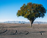 A lonely tree, in a dirt field. royalty free stock image