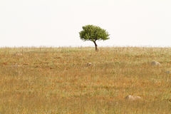 Lonely Tree In Dry Field Stock Photo