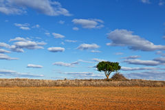 Lonely Tree in a Dry Meadow Royalty Free Stock Image