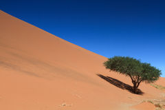 Lonely tree on Dune 45 Royalty Free Stock Photos