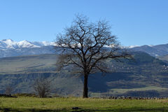 A lonely tree on the edge of a canyon. Dry tree standing on the edge of a canyon with snow-peaked mountains in the background Royalty Free Stock Photography