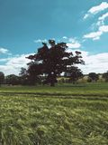 Lonely tree in the field Royalty Free Stock Images