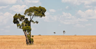 Lonely tree in the expanse of savanah. Masai Mara Game Reserve, Kenya Royalty Free Stock Photos