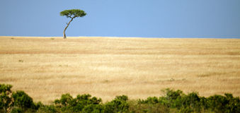 Lonely tree in the expanse of savanah. Masai Mara Game Reserve, Kenya Royalty Free Stock Images