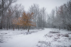 Lonely tree with faded leaves among winter park and leafless trees. Royalty Free Stock Images
