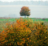 Lonely tree. With fallen leaves not on blurred background, fall season Royalty Free Stock Images