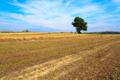 Lonely tree in a field Royalty Free Stock Photo