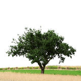 Lonely Tree In A Field. Single Tree in summer field on white background Royalty Free Stock Photography