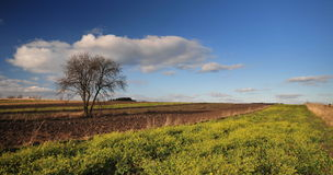 Lonely tree in the field. Lonely tree in the agricultural field Stock Images
