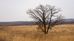 Lonely tree in field. Royalty Free Stock Images
