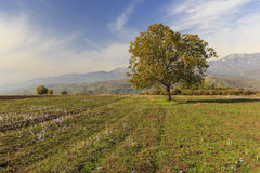 Lonely tree on the field in autumn Pirkuli Stock Image