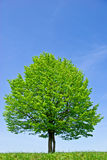 Lonely tree in the field,on the background of the clear blue sky Royalty Free Stock Image