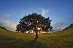 Lonely tree. On field at dawn Royalty Free Stock Photo