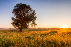 Lonely tree on field at dawn Royalty Free Stock Photography