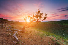 Lonely tree on field at dawn Stock Image