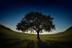 Lonely tree on field at dawn Royalty Free Stock Image