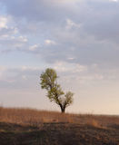 Lonely tree. Lonely tree in a field. Evening Royalty Free Stock Photos